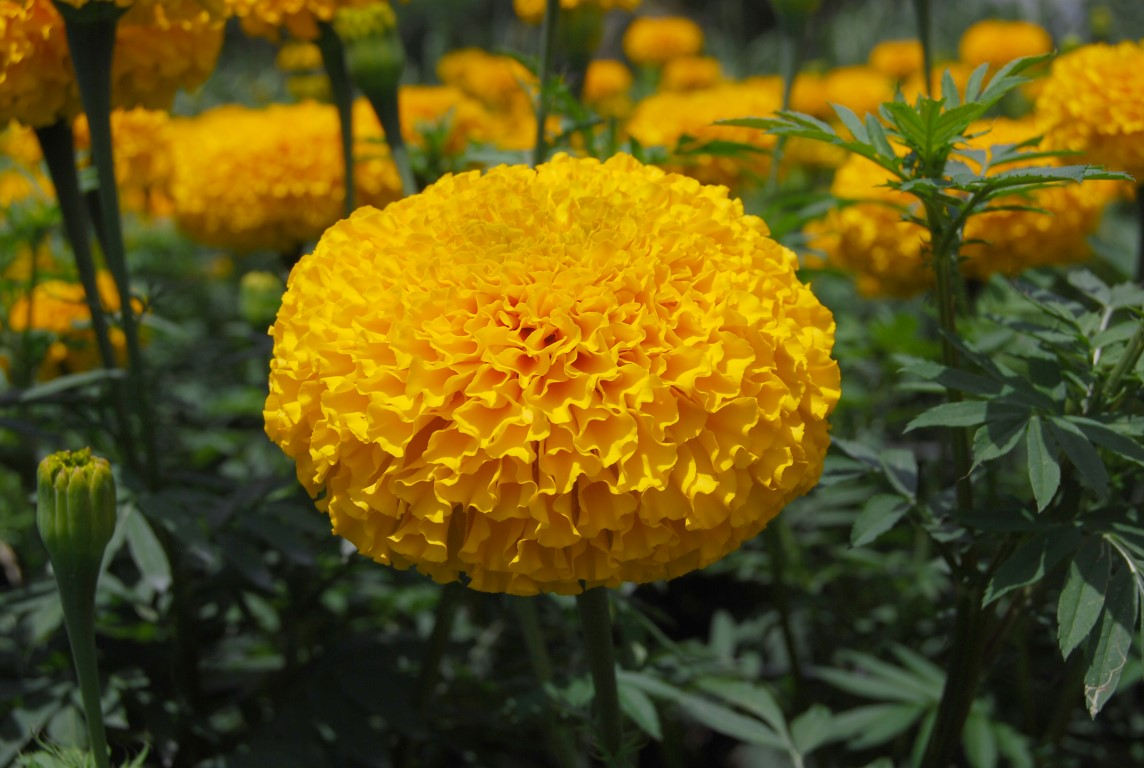 Marigold weingping gold homeseeds limited partnership - Flowers that bloom all year round ...