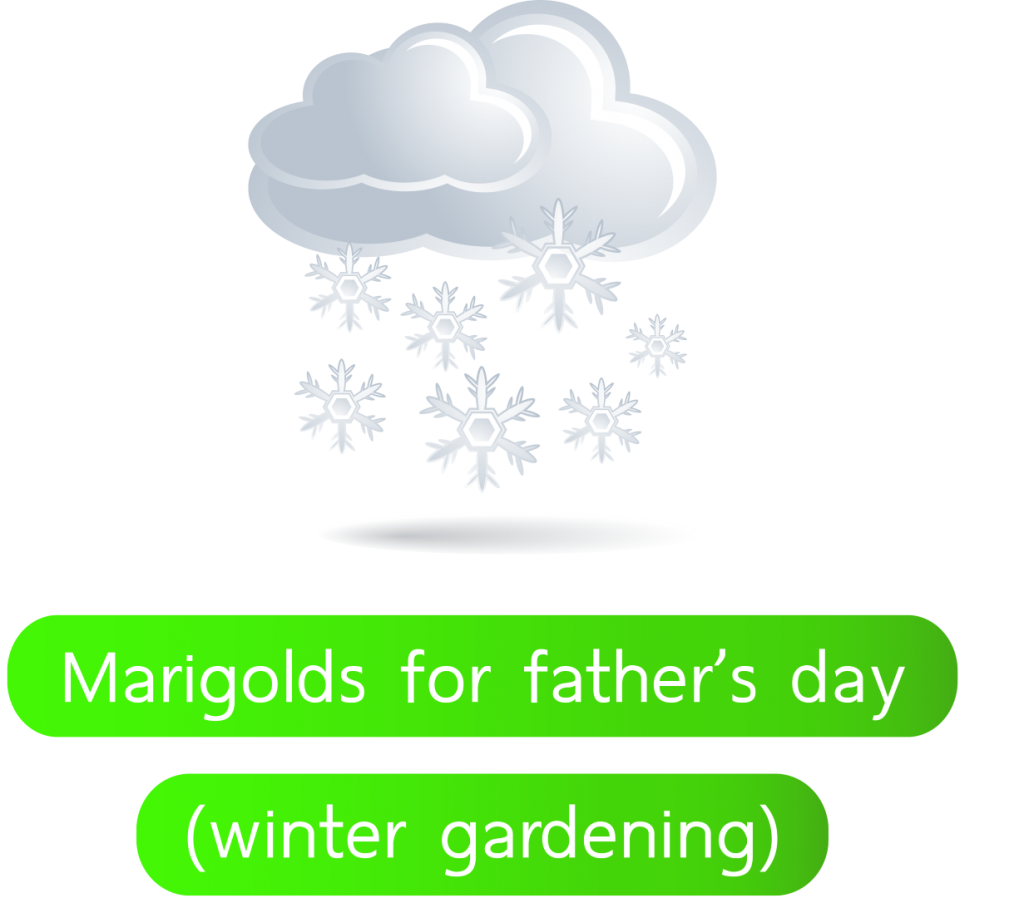 Marigolds-for-father's-day