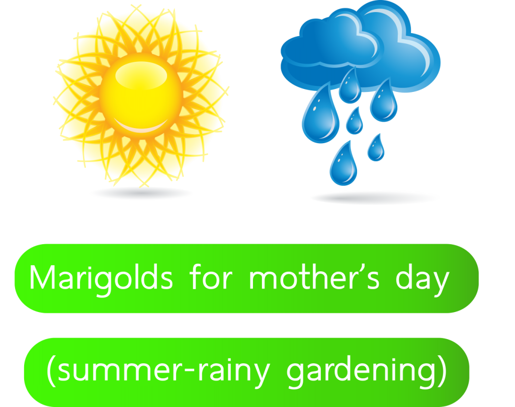 Marigolds-for-mother's-day